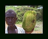 Bsuhfruit