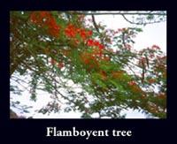 Flamboyent